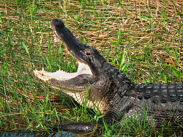 //www.gameandfishmag.com/files/best-u-s-big-game-hunts/gator.jpg