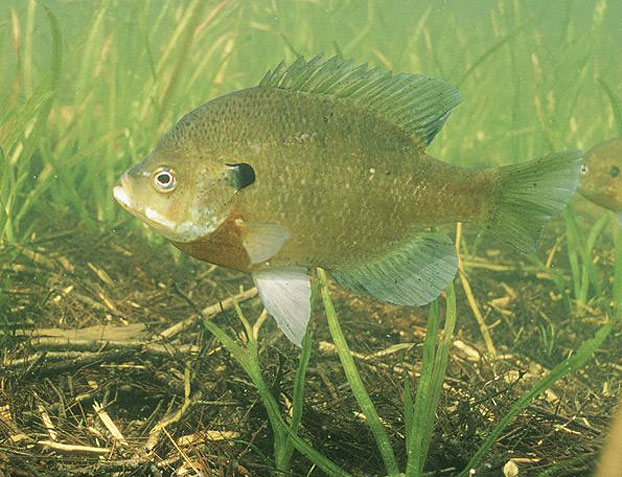 5 Great Lures For Bluegills