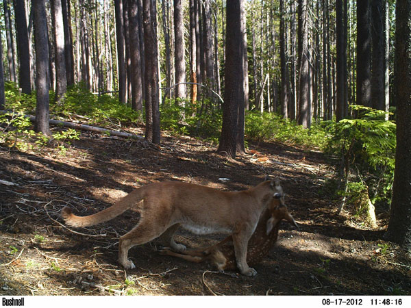 //www.gameandfishmag.com/files/headlines-from-2012/cougar_fawn.jpg