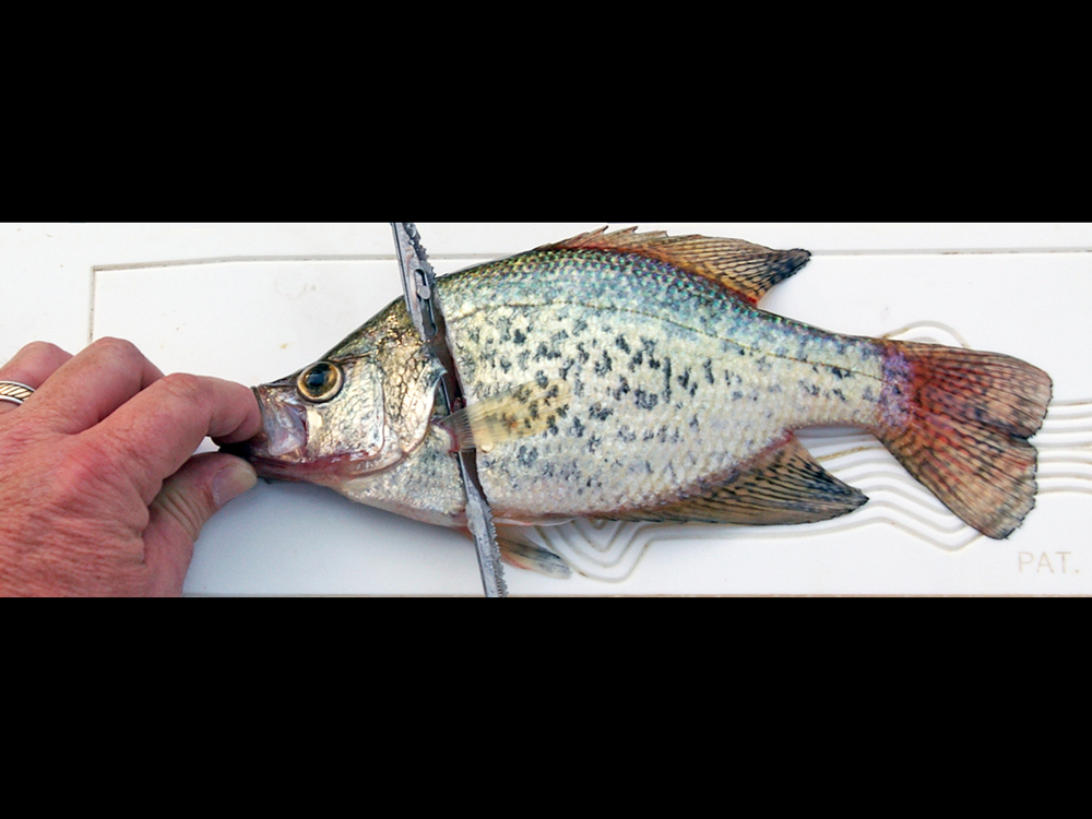 //www.gameandfishmag.com/files/how-to-fillet-a-crappie/003.jpg