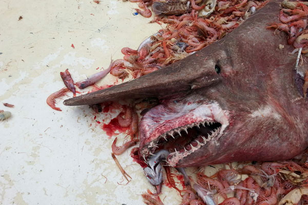 //www.gameandfishmag.com/files/related-news/goblin_shark_f.jpg