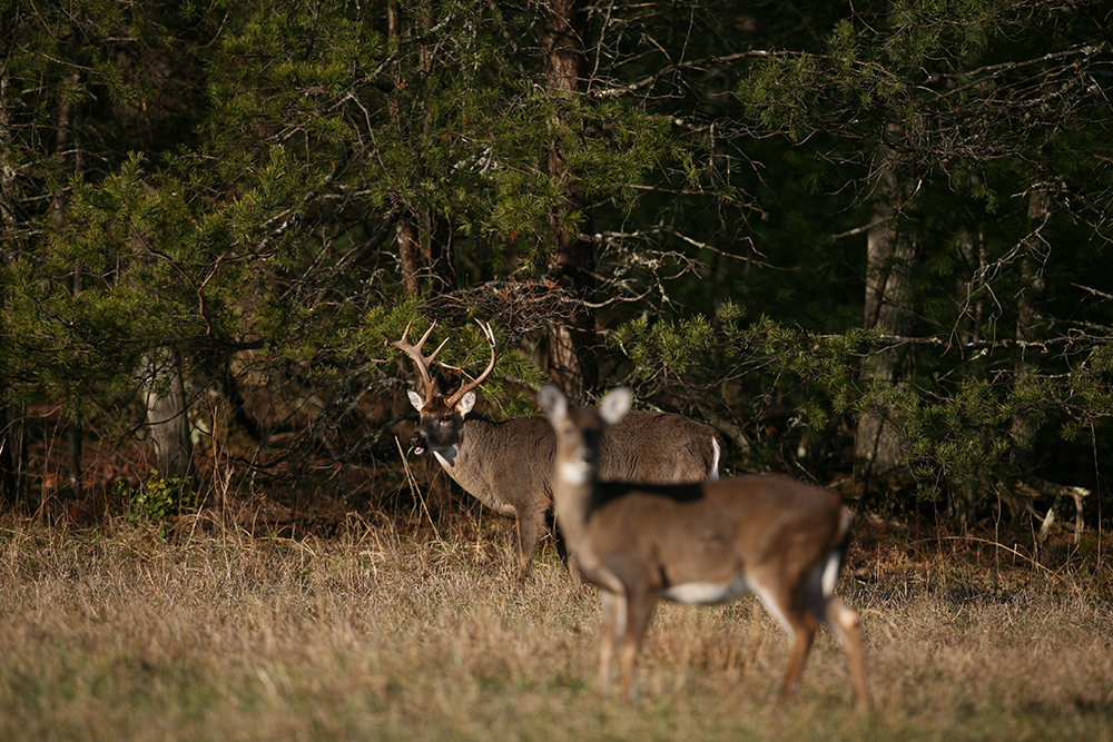 Whitetail Deer Hunting Own The Rut With A Great Food Plot