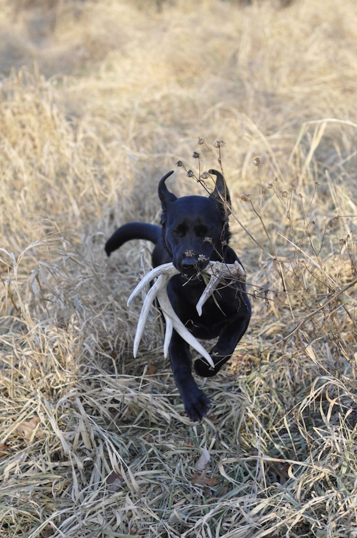 //www.gameandfishmag.com/files/sheds-why-your-dog-will-out-hunt-you/6-always-hunting.jpg