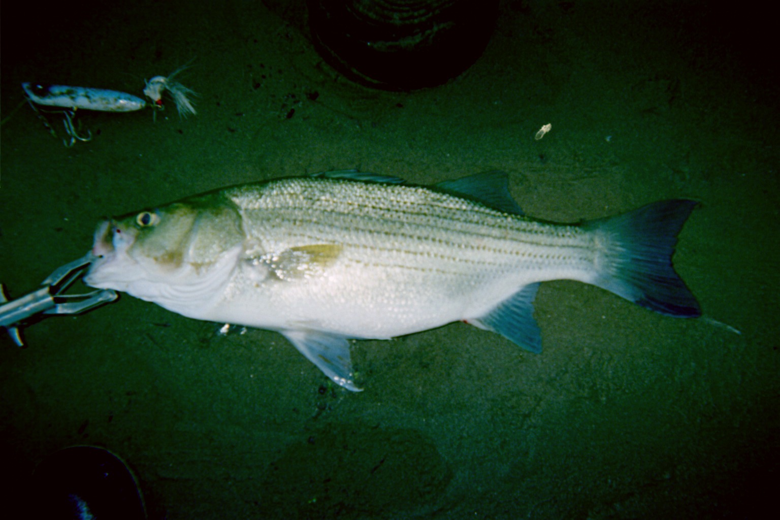 """Early morning topwater hybrid striped bass (26.75"""")"""