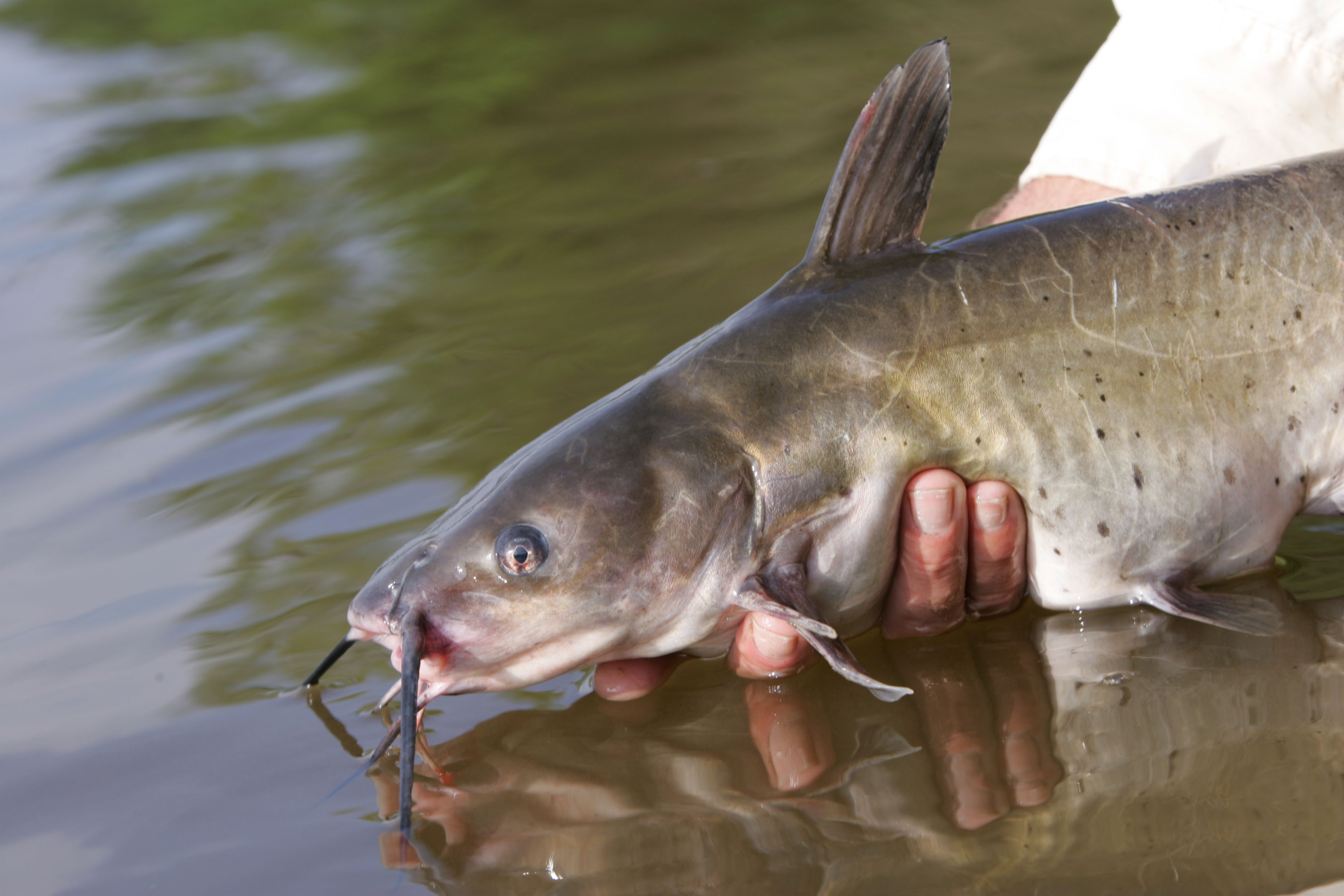 The smell and taste senses of catfish are highly acute.