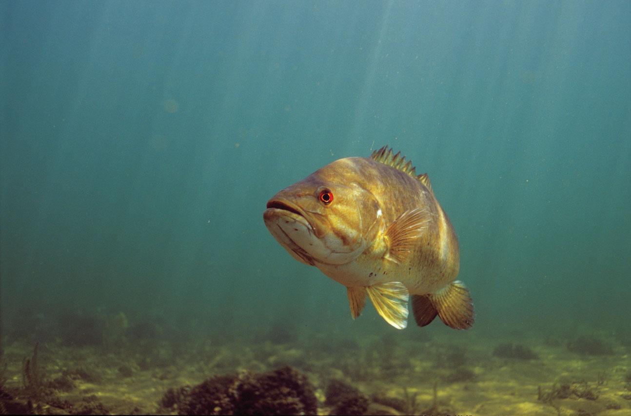 Winter Smallmouth Bass