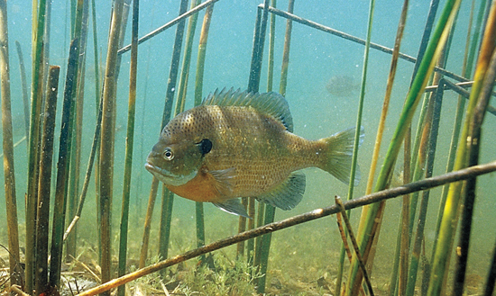 Tracking Bluegill Research
