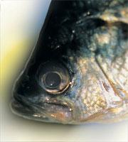 Panfish Vision