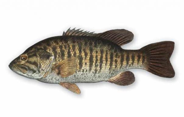 Hybrid Black Bass