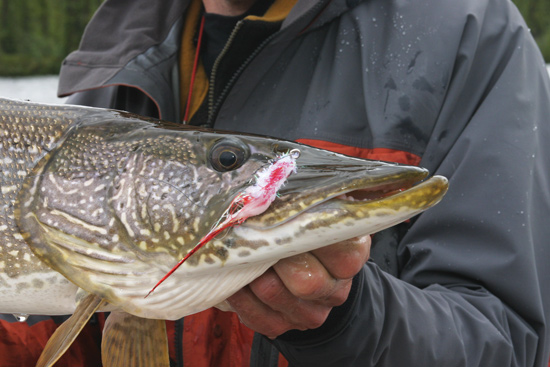 Wading For Monster Pike
