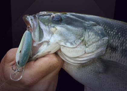 On Spotted Bass