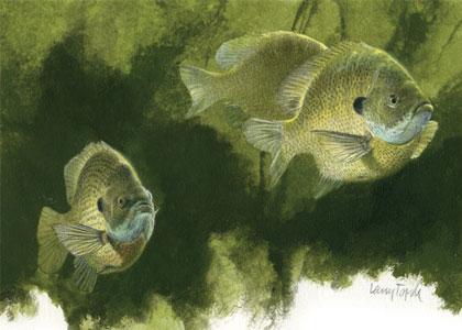 Sunfish Spawn Process