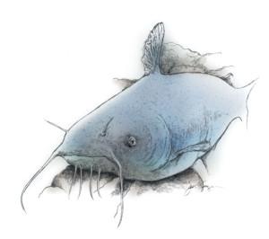 Blue-Catfish-Illustration-In-Fisherman