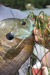 Bluegill-Cabbage-In-Fisherman
