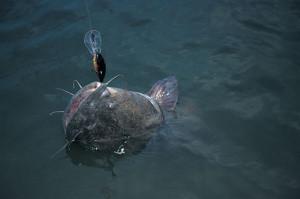 Catfish-Surfaced-Crankbait-In-Fisherman