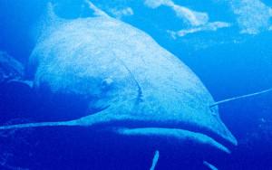 Flathead-Catfish-Blue-Overlay-In-Fisherman
