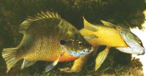 Spawntime Sunfish