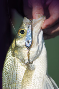Vertical Jigging Strategies for White Bass