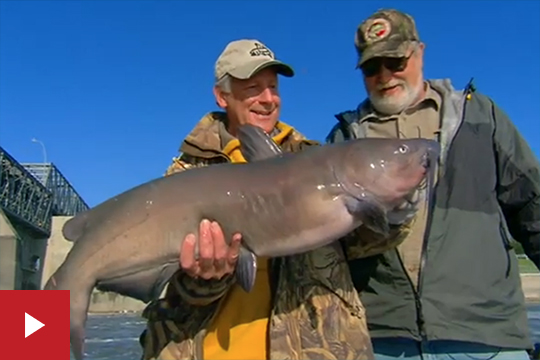 Giant Red River Channel Catfish