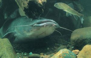 Flathead Catfish Weight Conversion Chart