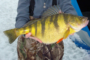 Perch Length To Weight Conversion Chart