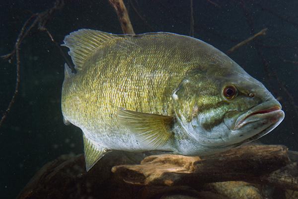 Smallmouth Bass Weight Conversion Chart