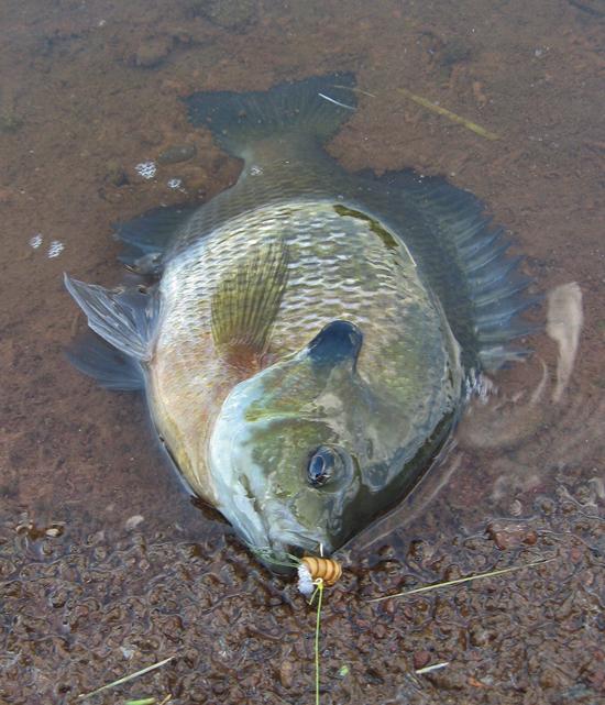 Jigging Early Season Panfish