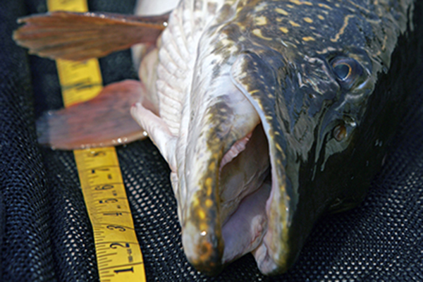 Pike Length To Weight