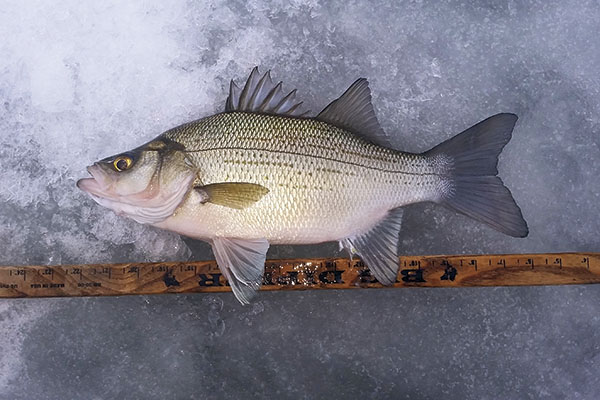 Winter White Bass