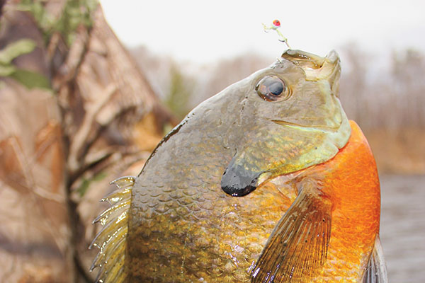 Finding Big Bluegills in Tall Corn