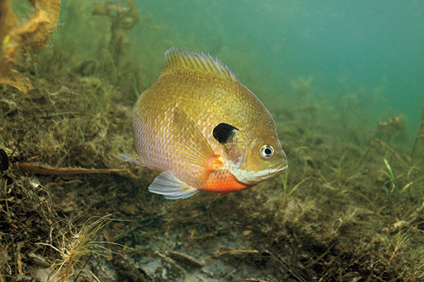 Bluegill Management Strategies