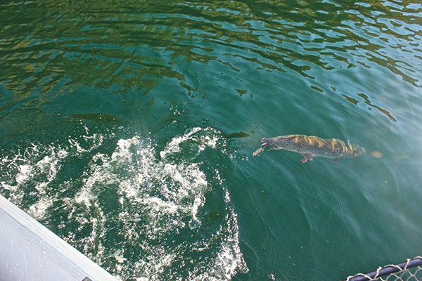Chasing Northern Pike on Swim Jigs