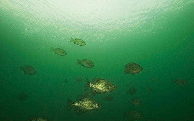 Thermocline Panfish