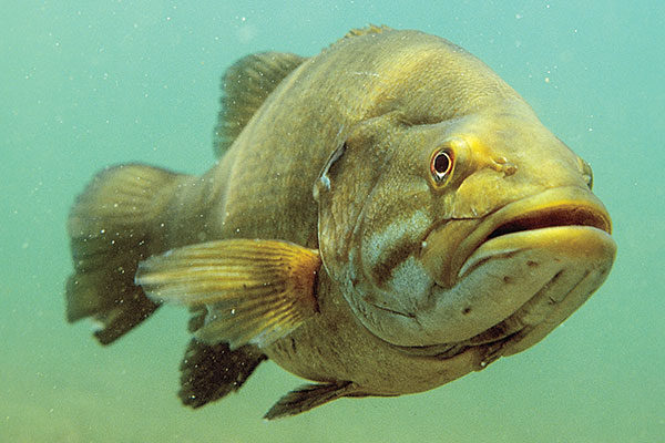 The Hunt for Giant Smallmouth Bass