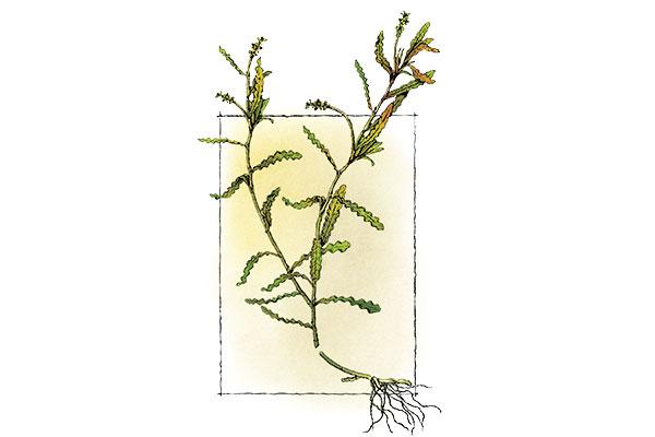 Curly-Leaf-Pondweed-Plant-Under-Ice
