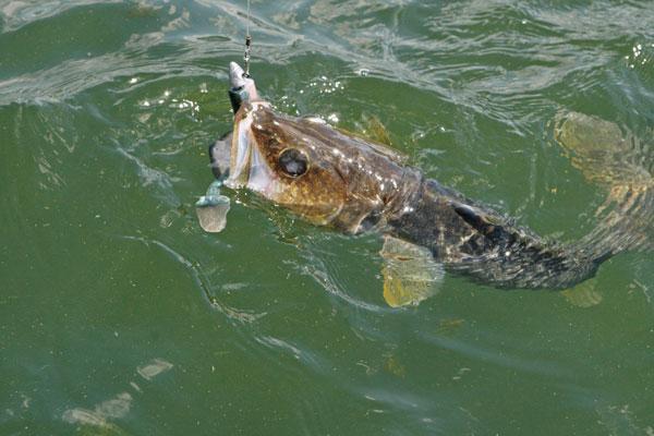 Trophy Walleye on Swimbaits