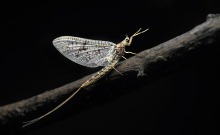 The West's most dependable large mayfly