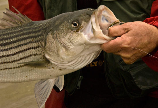 Striped bass in new hampshire fly fisherman for Bass fishing nh