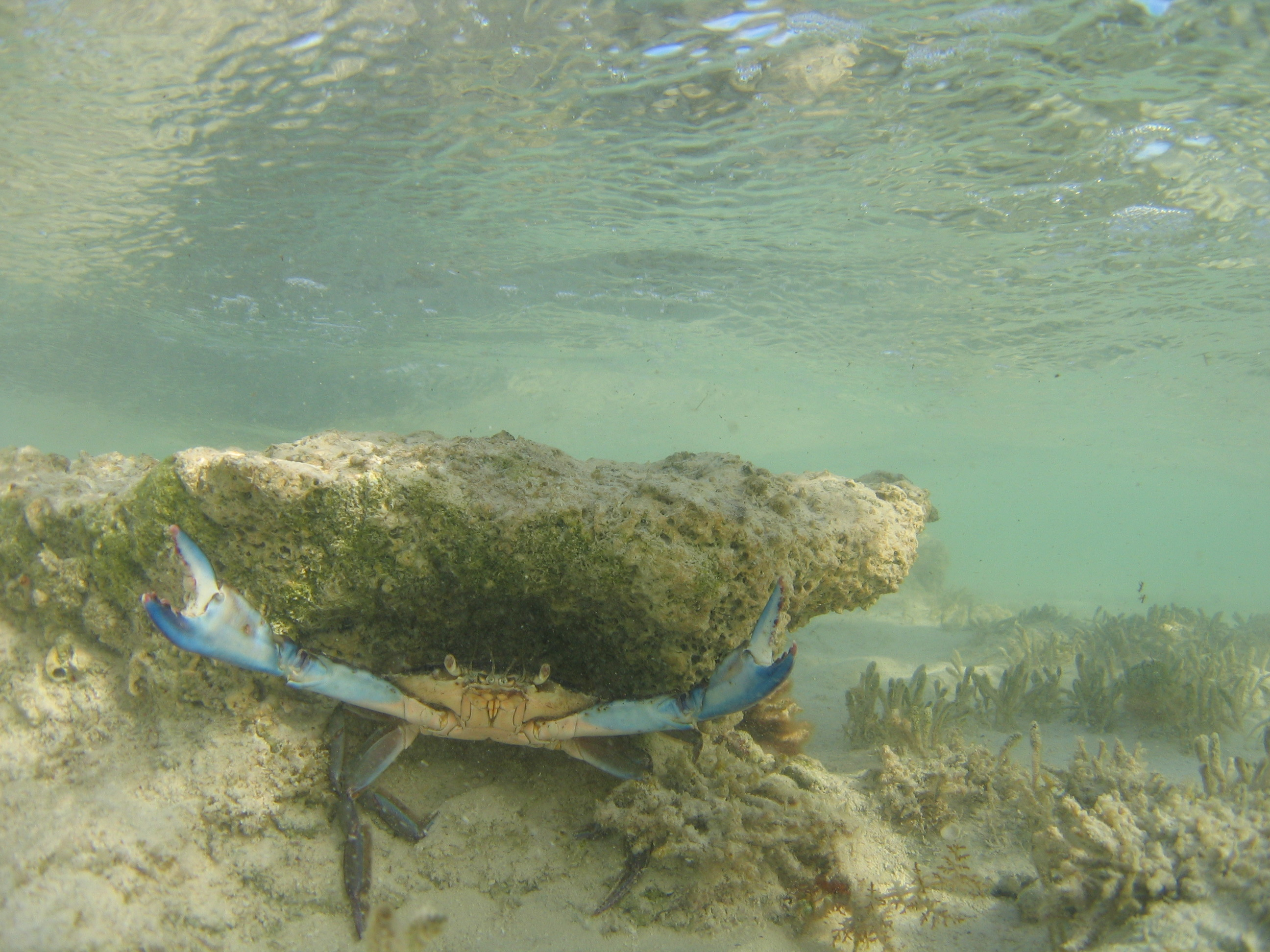 A Blue Crab in Full Defense Mode!  Have you ever been wading the flats and noticed a blue crab in