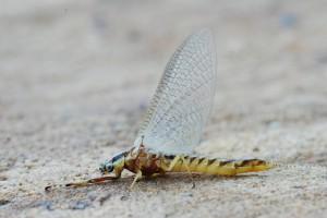 Florida Mayflies