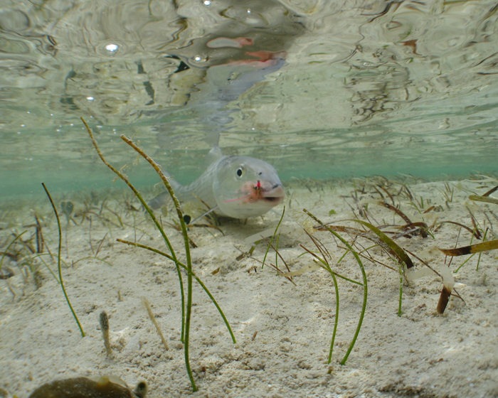 Shallow Water Bonefish