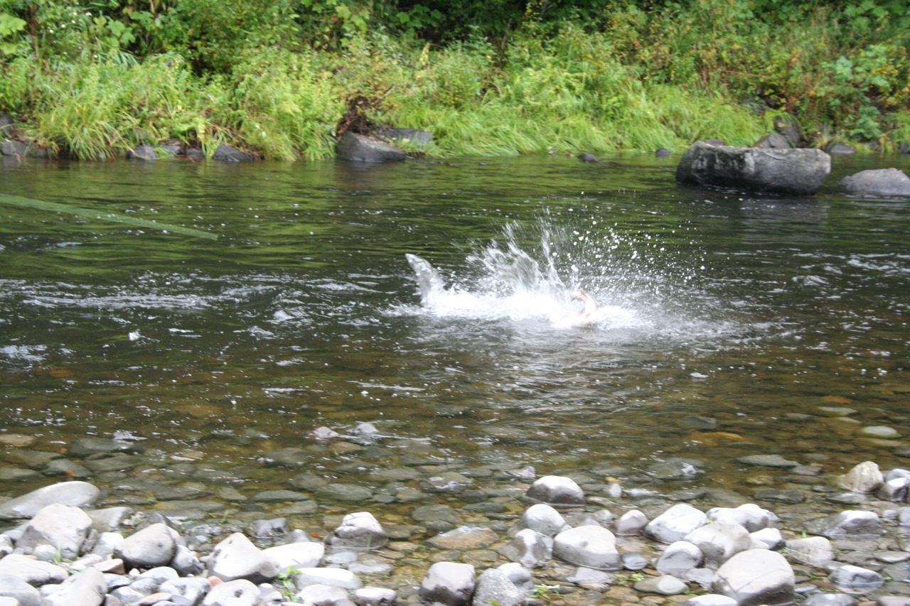 I'm just back from a minor binge of fishing summer steelhead.  On day two, I was fishing with a
