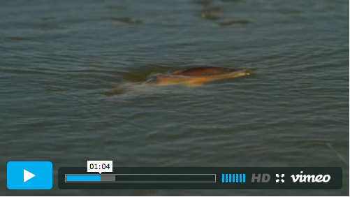 Spectacular footage of big redfish taking big poppers in the Big Easy. David is an incredibly