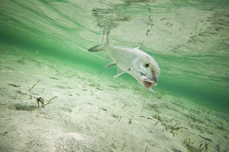 Bonefish school fly fishing bonefish secrets fly fisherman for Bonefish fly fishing
