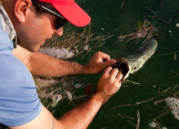 Here is some interesting information from Aaron Adams, Ph.D., Operations Director at Bonefish Tarpon Trust.