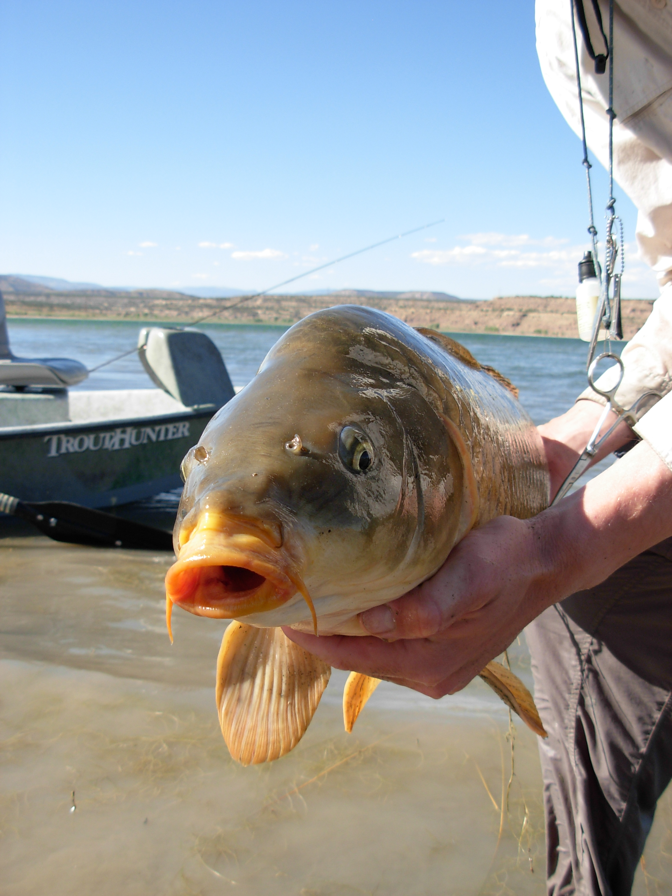 Fly fishing for Carp is rapidly gaining popularity.  Carp are found in nearly every state and