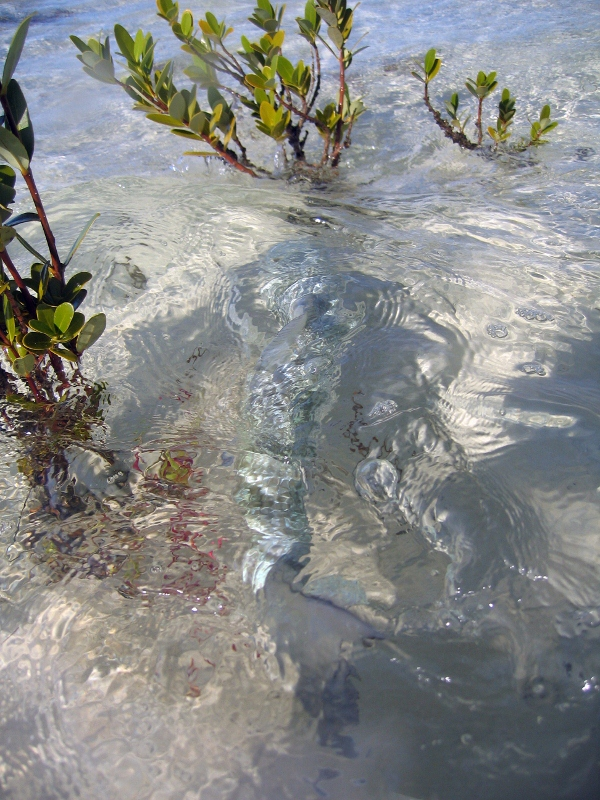 Can you see the bonefish in the picture?  It's amazing to me how these fish can adapt to their