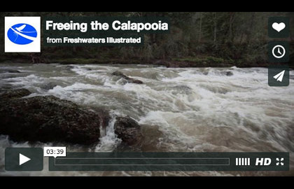 As the Elwha's dams were preparing to come down, three diversion dams were removed from the Calapooia River, thanks to the work of the Watershed Council.
