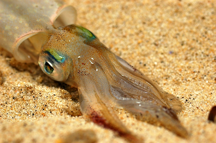 Squid in the Rips''Background and Behavior