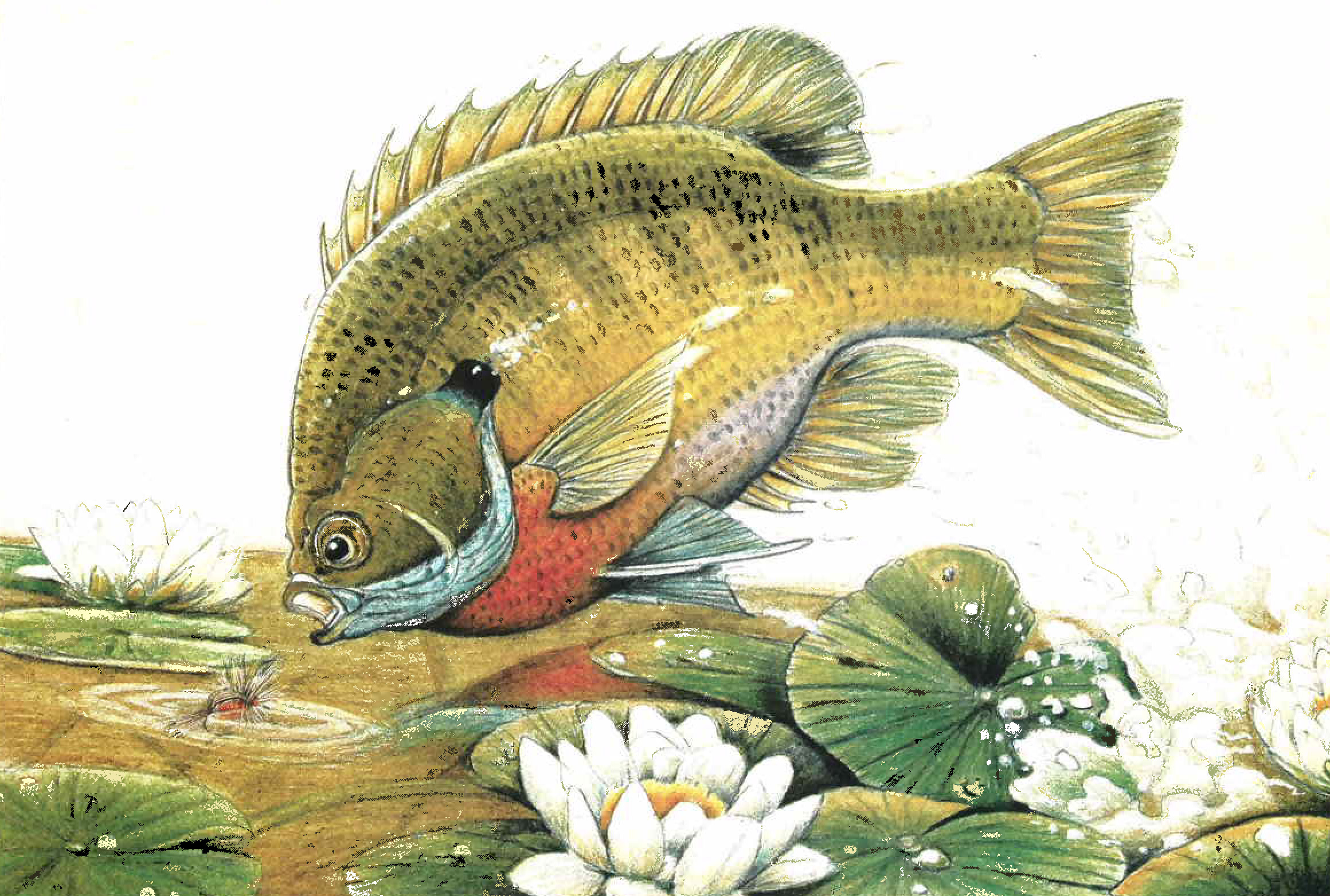 fly fishing for sunfish and panfish fly fisherman